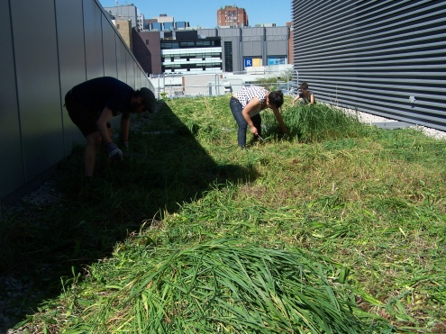 Cutting back the grasses [May 2013]!Photo Credit: Vincent Javet